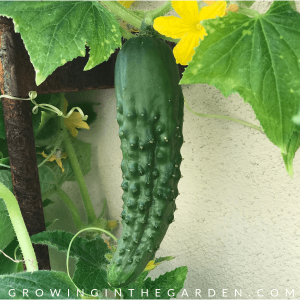 Arizona Garden in November #gardening #garden #arizonagarden #novembergarden #gardeninginarizona #desertgarden