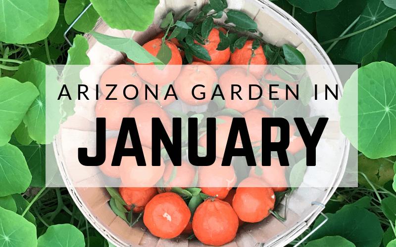 Arizona Garden in January#gardening #garden #arizonagarden #Januarygarden #gardeninginarizona #desertgarden Arizona Garden in January#gardening #garden #arizonagarden #Januarygarden #gardeninginarizona #desertgarden
