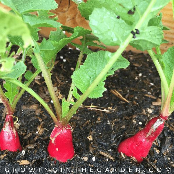 How to grow Radishes #growingradishes #plantingradishes #radishes #gardening #gardeningtips