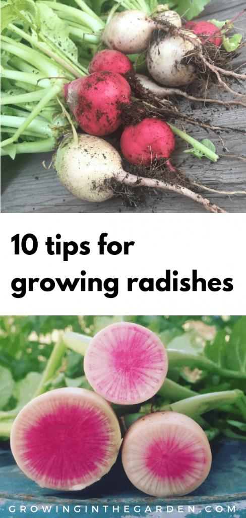 How to grow Radishes #growingradishes #plantingradishes #radishes #gardening #gardeningtips