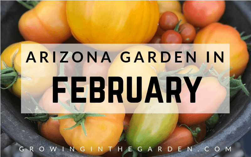 Arizona Garden in February Arizona Vegetable Garden Checklist #arizonagarden #gardenchecklist #thismonthinthegarden #garden