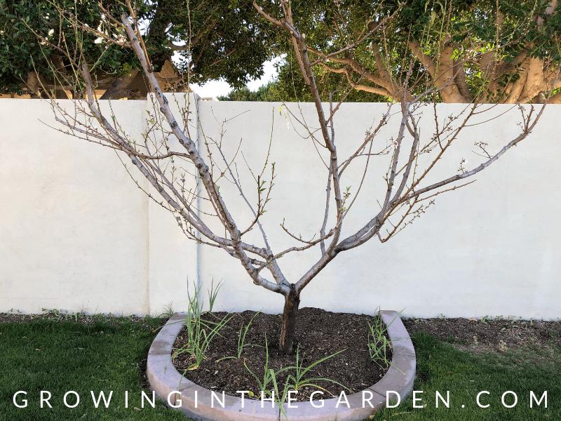 Arizona Garden in February Arizona Vegetable Garden Checklist #arizonagarden #gardenchecklist #thismonthinthegarden #garden