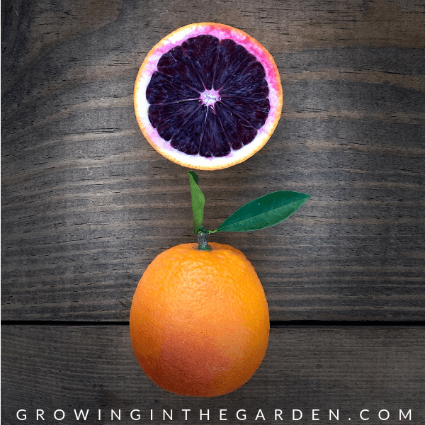 Types of citrus trees - varieties of citrus - which kind of citrus should I plant? #citrus #plantingcitrus #choosingcitrus