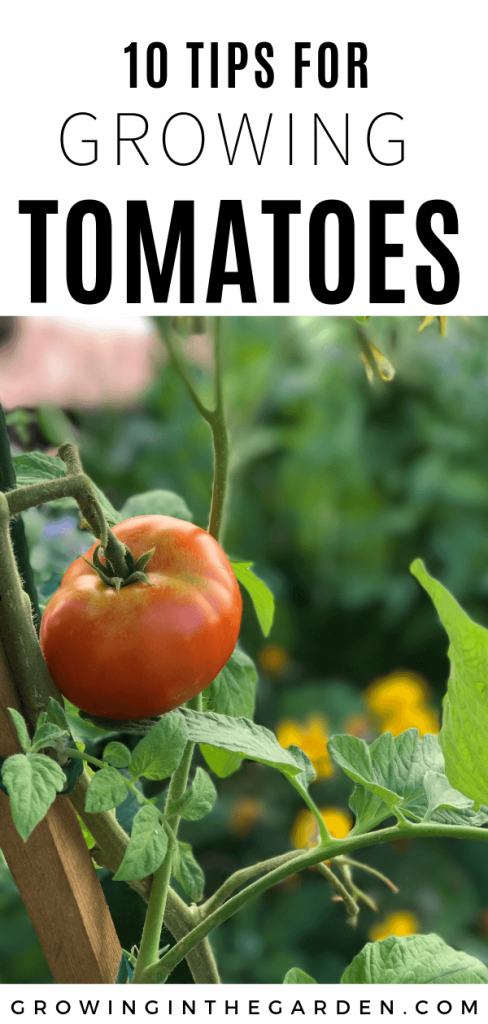 How to grow tomatoes in Arizona - 10 tips for growing tomatoes #tomatoes #arizonagardening #howtogrowtomatoes