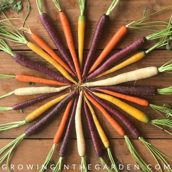 Rainbow carrots in Arizona Garden in April #arizonagardening #arizonagarden #aprilinthegarden