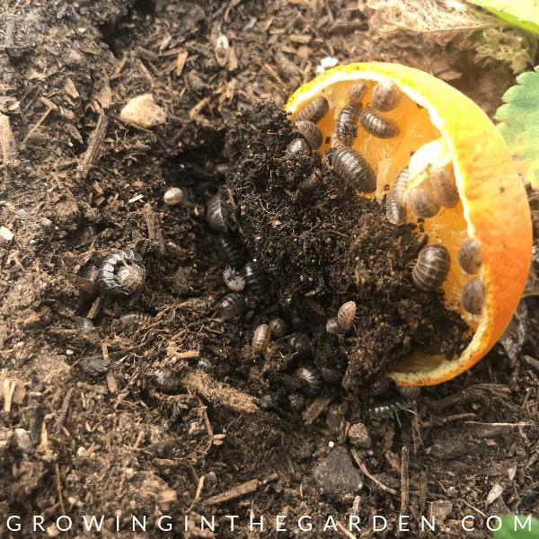 Potato bugs in Arizona Garden in April #arizonagardening #arizonagarden #aprilinthegarden