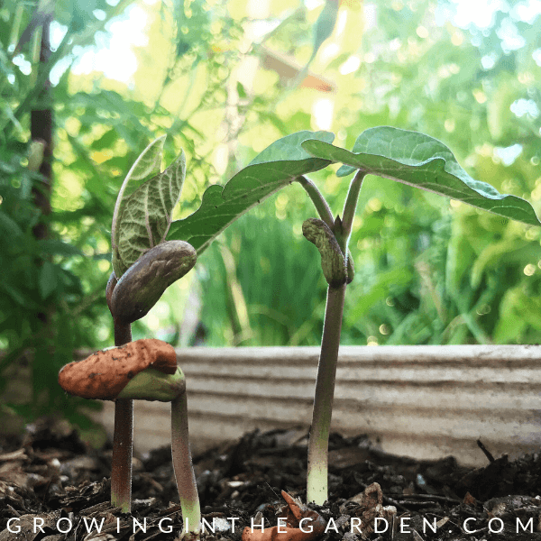 Beans in Arizona Garden in April #arizonagardening #arizonagarden #aprilinthegarden