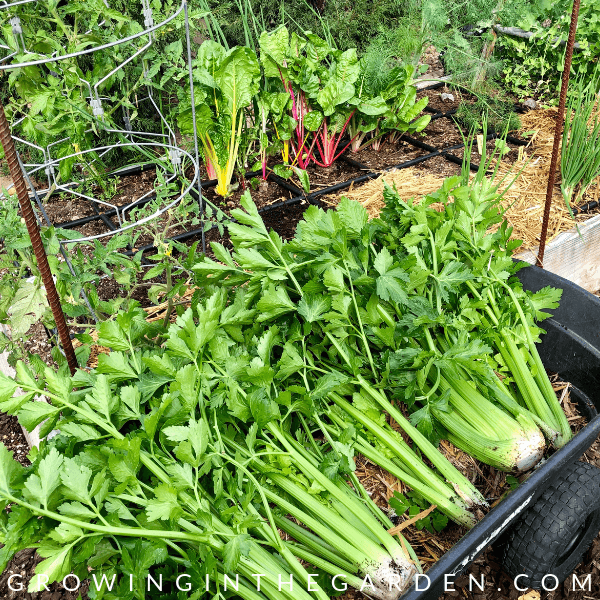 Celery grown in Arizona Garden in April #arizonagardening #arizonagarden #aprilinthegarden