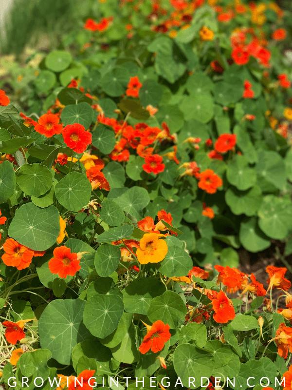 Nasturtiums in Arizona Garden in April #arizonagardening #arizonagarden #aprilinthegarden