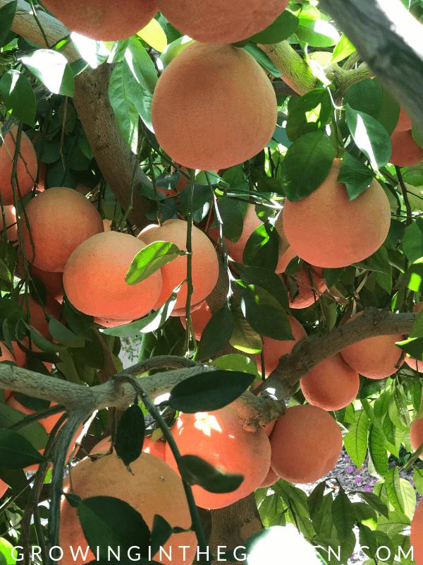 Ruby red grapefruit in Arizona Garden in April #arizonagardening #arizonagarden #aprilinthegarden