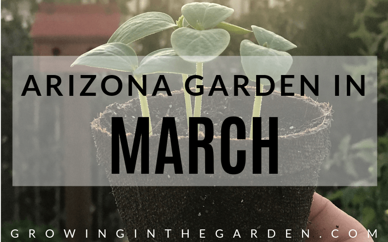 Arizona Garden in March#gardening #garden #arizonagarden #marchgarden #gardeninginarizona #desertgarden