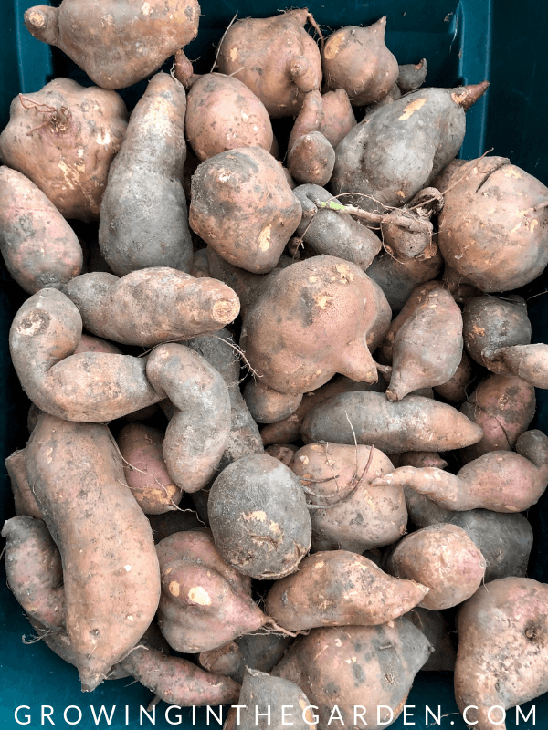 How to Grow Sweet Potatoes #sweetpotatoes #gardening #garden #arizonagarden #gardeninginarizona #desertgarden