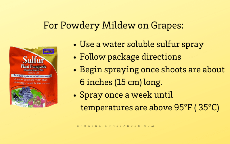 What to do for powdery mildew on grapes