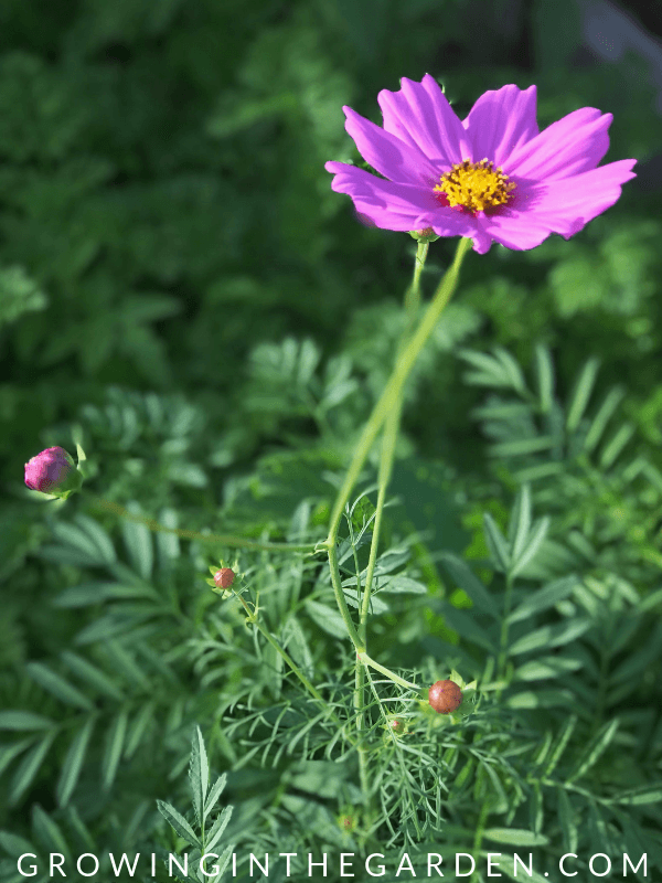 Cosmos in Arizona Summer garden