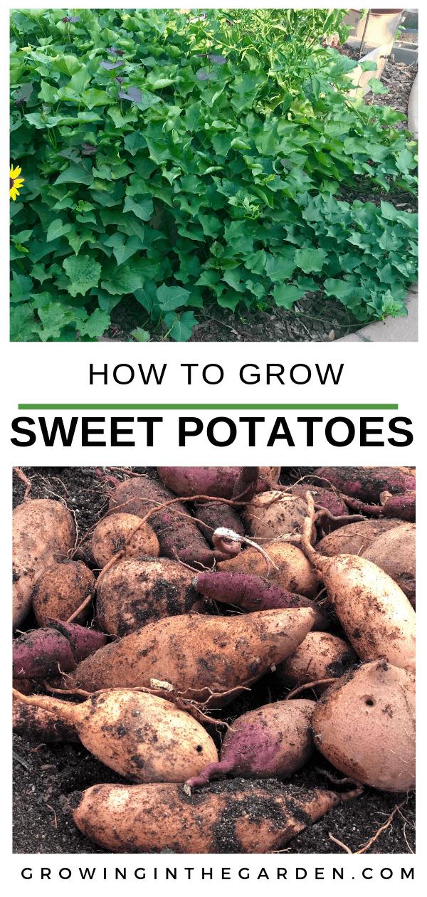 How to Grow Sweet Potatoes #sweetpotatoes #gardening #garden #arizonagarden #gardeninginarizona #desertgarden