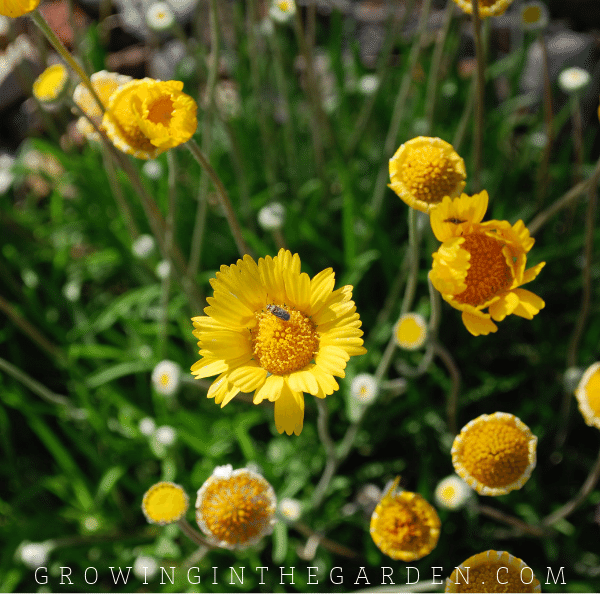 Desert Marigold flower in Arizona garden