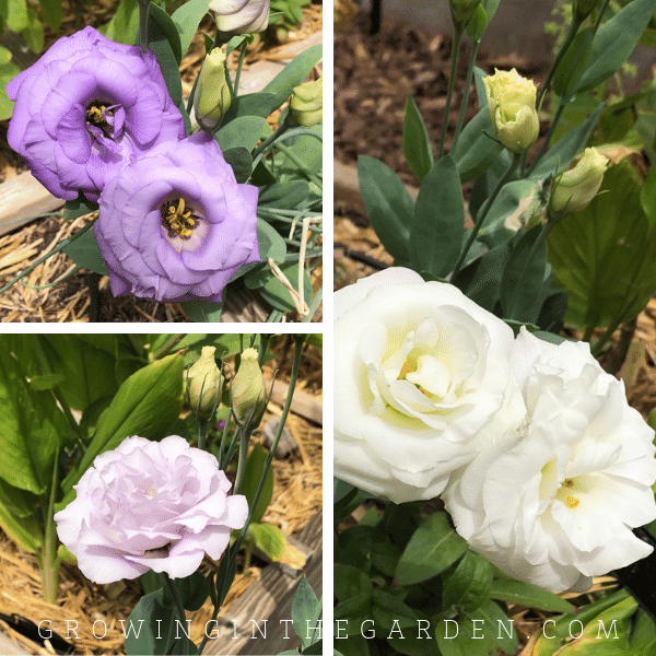 lisianthus flower in Arizona garden