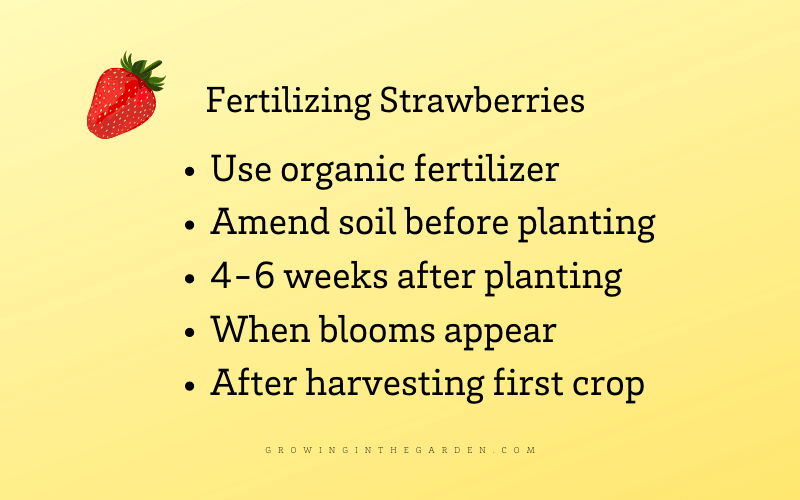 How to fertilize strawberries