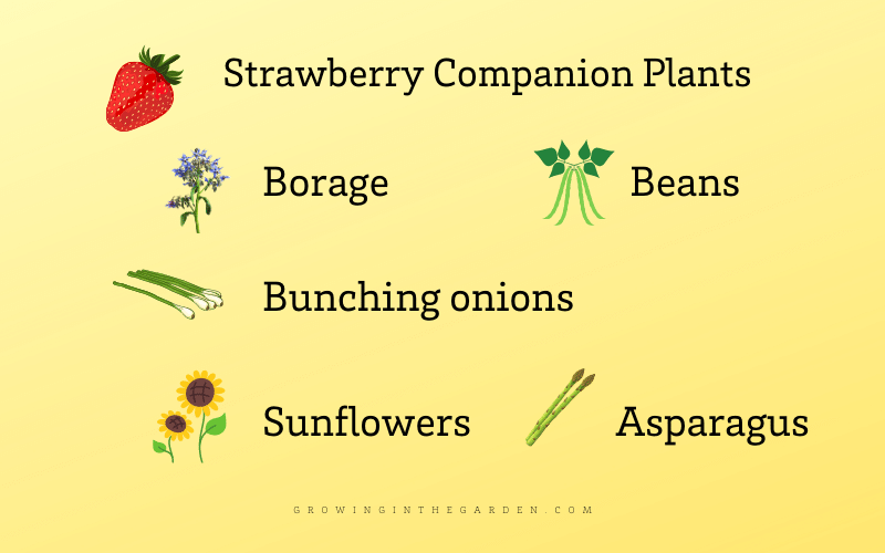 Strawberry companion plants