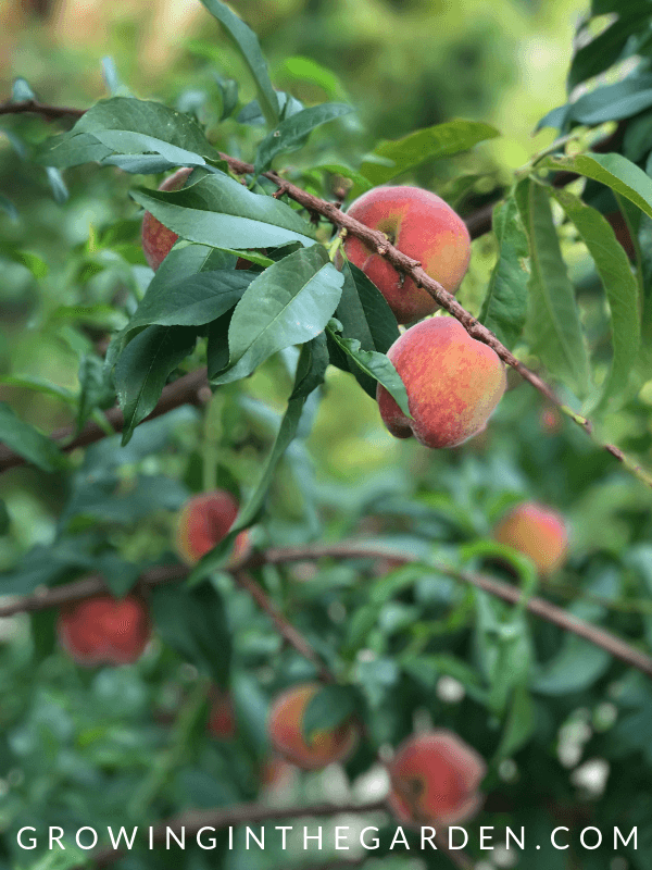 Peaches in Arizona garden in May
