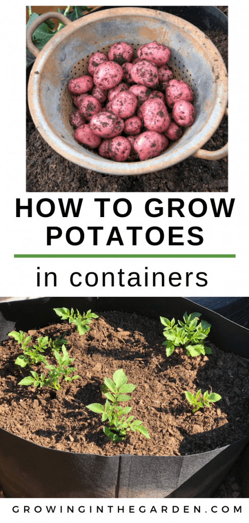 How to grow potatoes in containers - Growing potatoes in Arizona -Organic potatoes grown in containers
