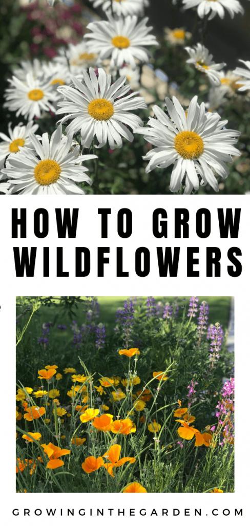 How to grow wildflowers in Arizona #wildflowers #superbloom #arizonawildflowers