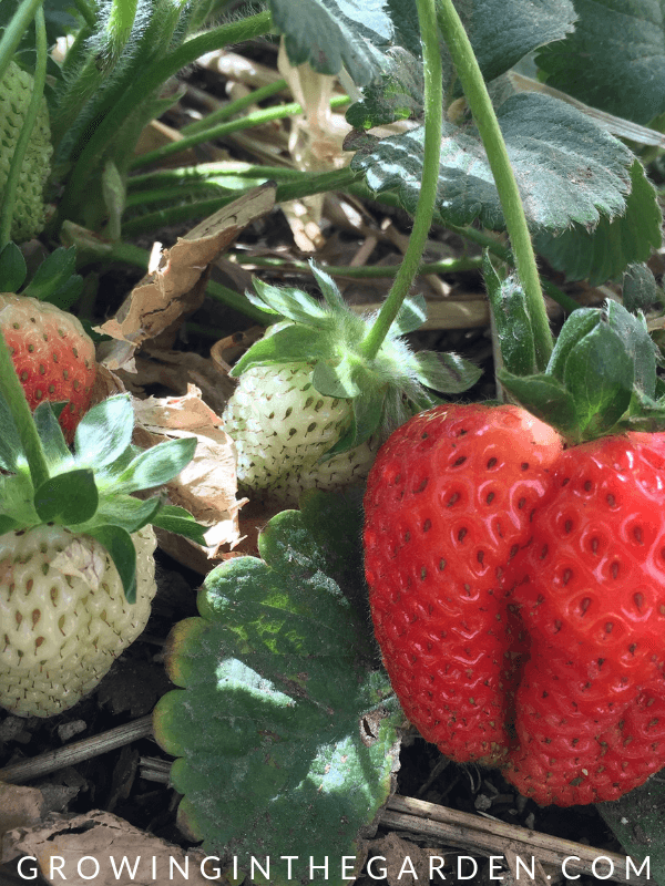 How to Grow Strawberries #strawberries #arizonagardening #howtogrowstrawberries