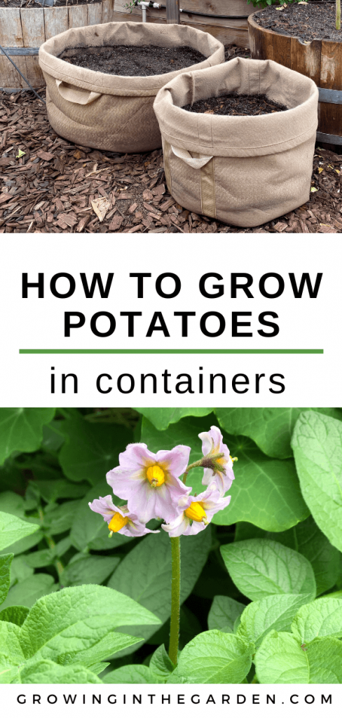 How to grow potatoes in containers - Growing potatoes in Arizona -Organic potatoes grown in containers (1)