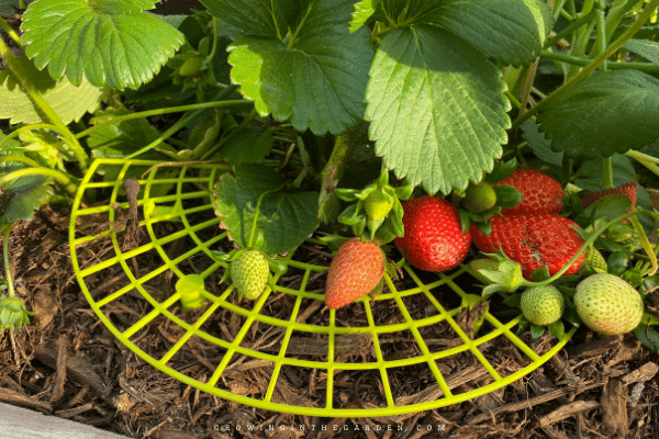 How to grow strawberries in Arizona