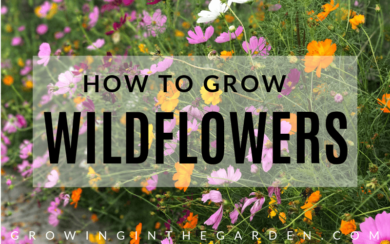 How to grow wildflowers in Arizona