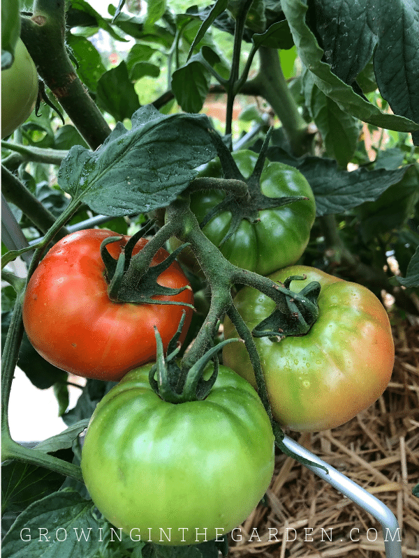 Tomatoes often benefit from added shade in the summer garden