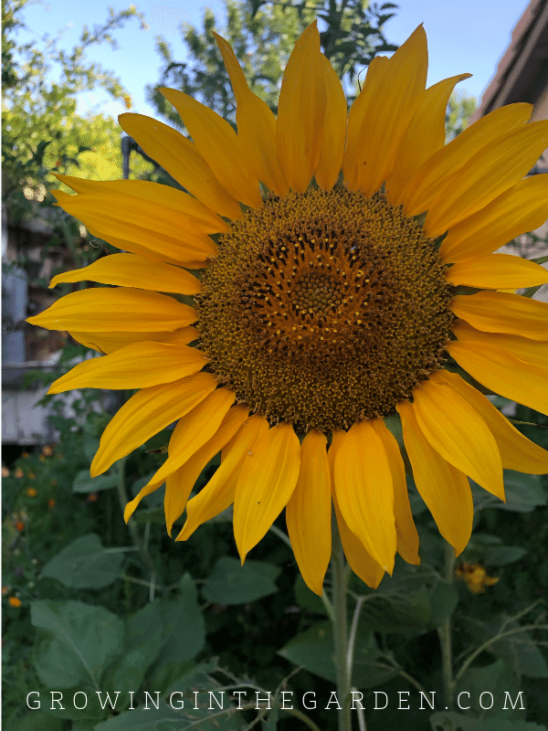 Sunflowers are a great way to create shade in the garden / Add shade to a hot summer garden
