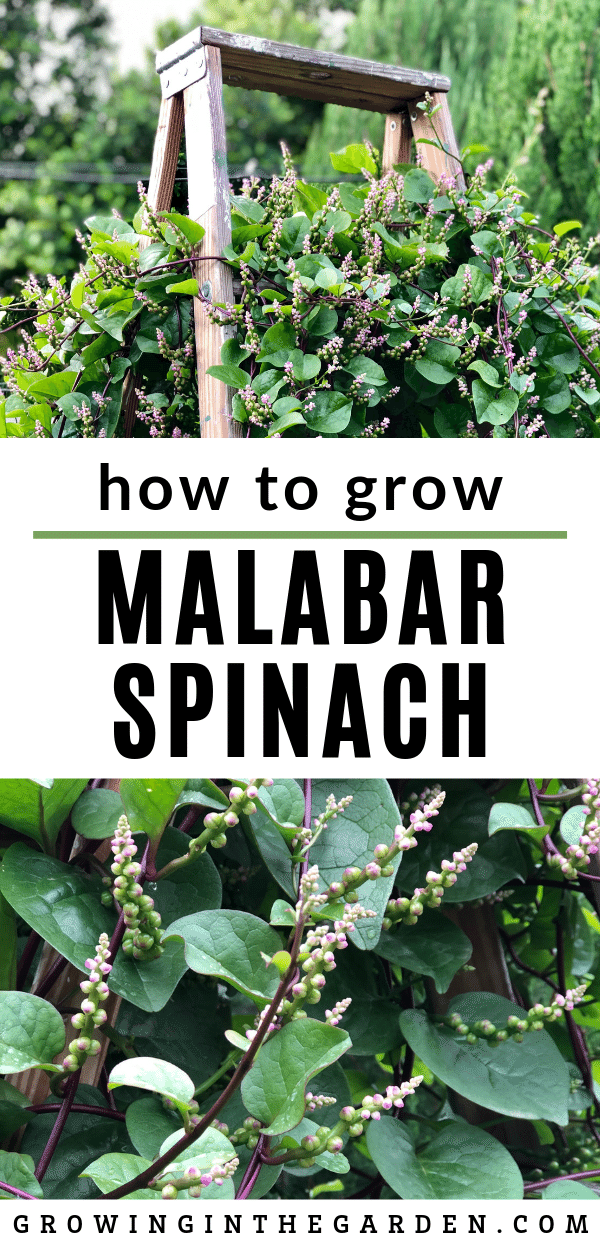 How to grow Malabar spinach