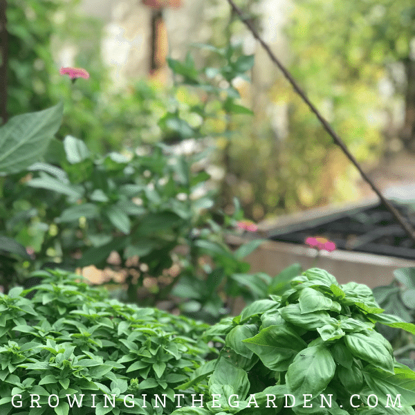How to grow basil - tips for growing basil