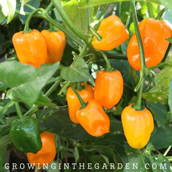 Pepper Varieties - Types of Peppers - Habanero pepper