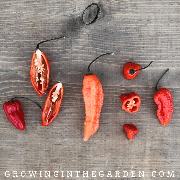Pepper Varieties - Types of Peppers - Bhut Jolokia, ghost pepper