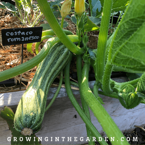 Summer squash varieties - 8 types to grow and enjoy