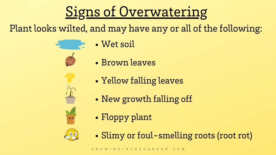 Signs of overwatering in plants