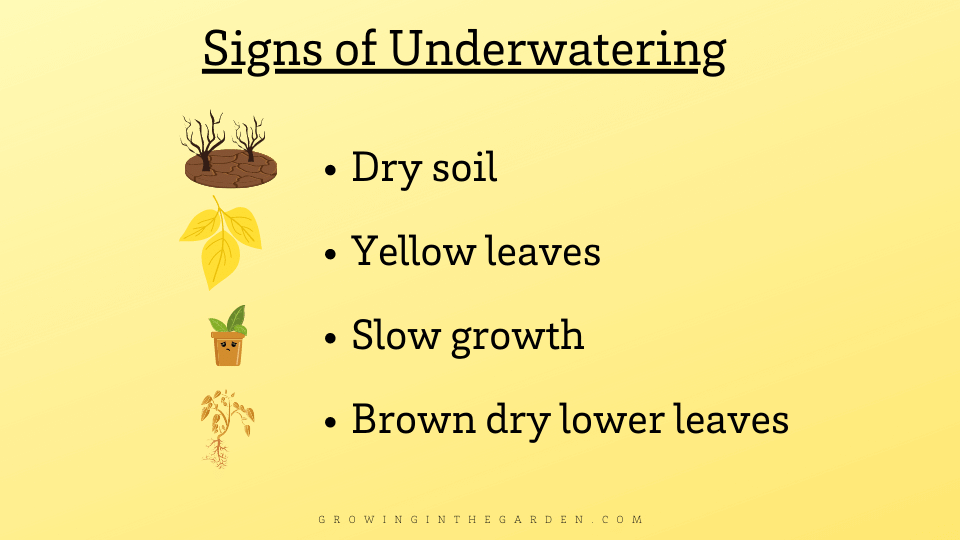 Signs of underwatering in plants