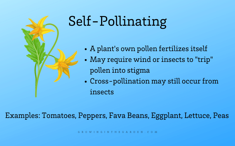 What are self-pollinating seeds infographic