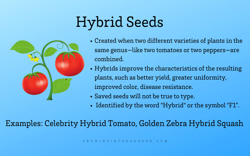 What are hybrid seeds infographic