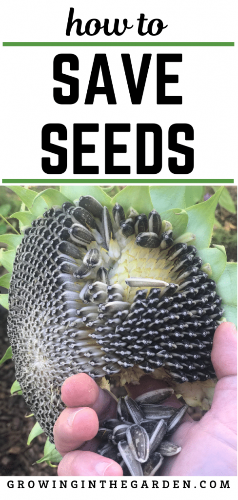 How to Save Seeds #seedsaving