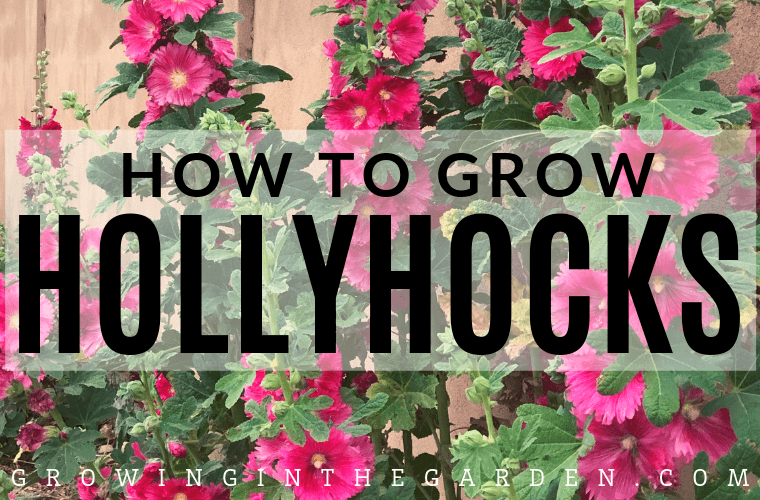 How to Grow Hollyhocks: Hollyhock Growing Guide