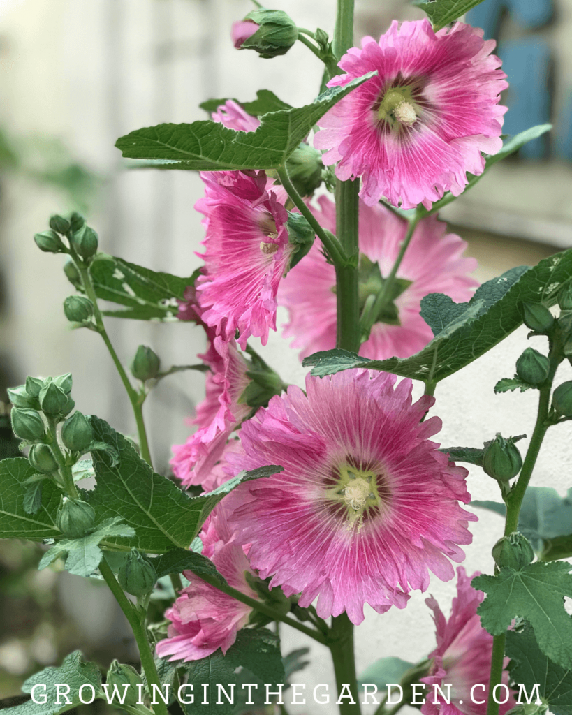How to Grow Hollyhocks: Hollyhock Growing Guide