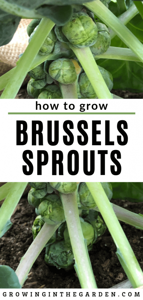 How to grow Brussels sprouts in Arizona