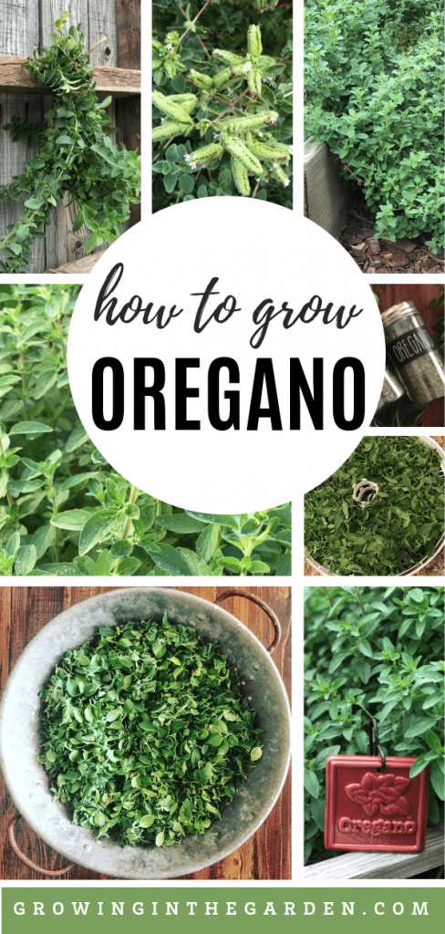 How to grow oregano - tips for growing oregano
