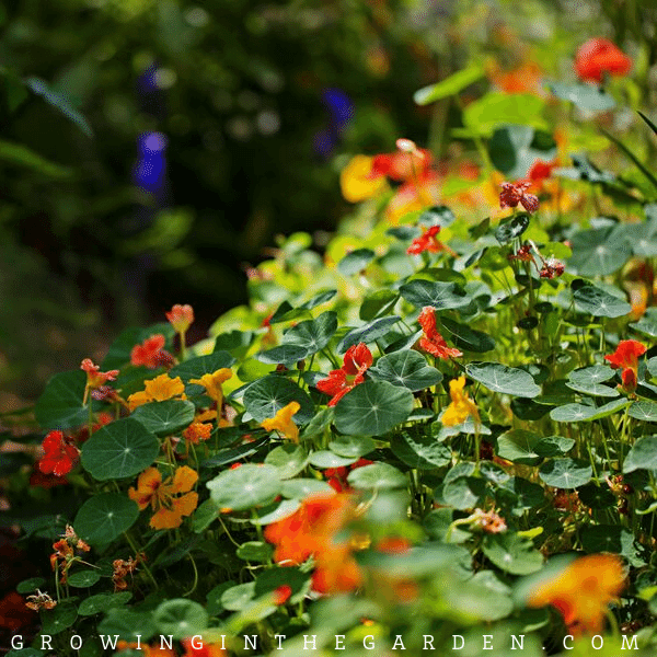 How to Grow Nasturtiums: How to Plant, Grow, and Care for Nasturtiums