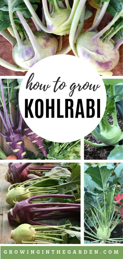 How to grow kohlrabi - tips for growing kohlrabi