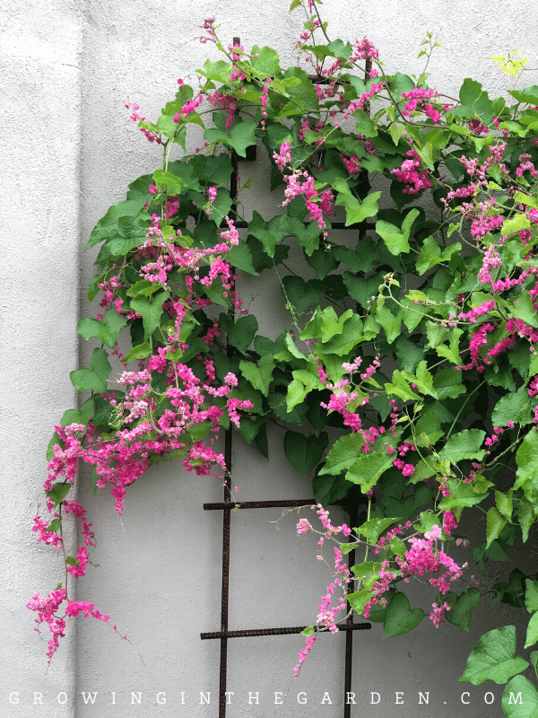 How to Grow Coral Vine_ Growing Queen's Wreath and Mexican Creeper
