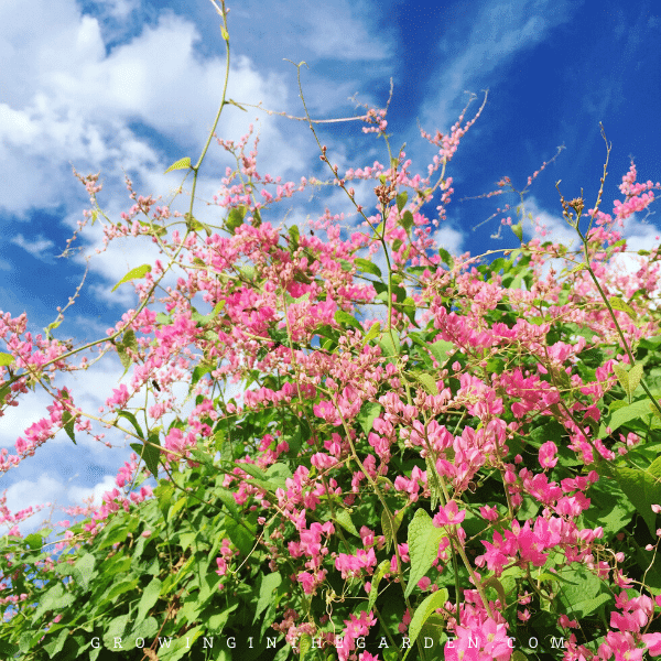How to Grow Coral Vine: Growing Queen's Wreath and Mexican Creeper